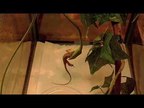 Vine Snake Eating Anole Video