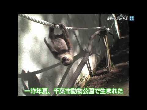 ナマケモノの赤ちゃん「タマチン」