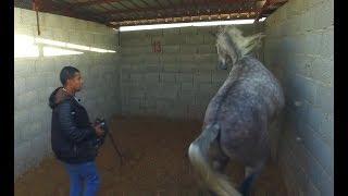 الحلقة الأولى من عسف ( حصان فيه اطباع سيئة الهجوم والعض )