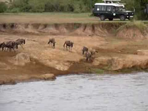 Crocodile take wildebeest in river