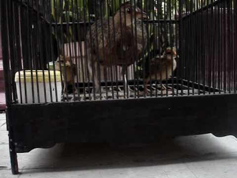 Ayam Hutan Betina Dan Anak Ayam Hutan.mpg video