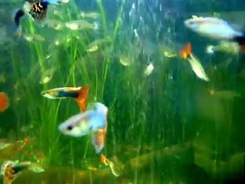 Fancy Guppy, Guppy  Fish, Guppies Video Download