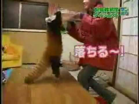Japanese Girl Vs Red Pandas video