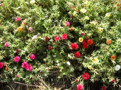 how to plant moss roses at thedoglogs. Black Bedroom Furniture Sets. Home Design Ideas