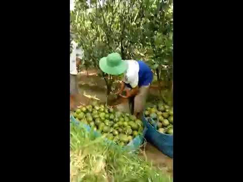 Toàn cảnh thu hoạch cam sành ở miền tây