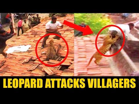 خطير : نمر يهاجم قرية باكملها