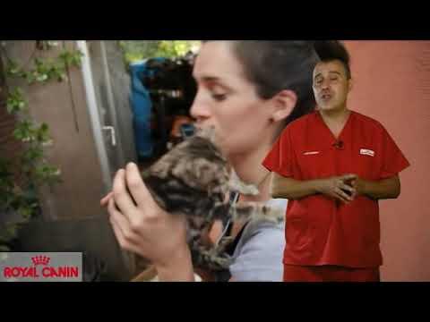 Por qué esterilizar a nuestro gato I - Salud felina Royal Canin