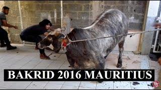 Download Bakrid 2016 - Angry bull - Slipping 3Gp Mp4