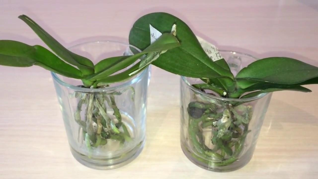 Выращивание фаленопсиса в воде 470