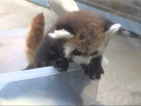 レッサーパンダ赤ちゃん☆円山動物園レッサーパンダ