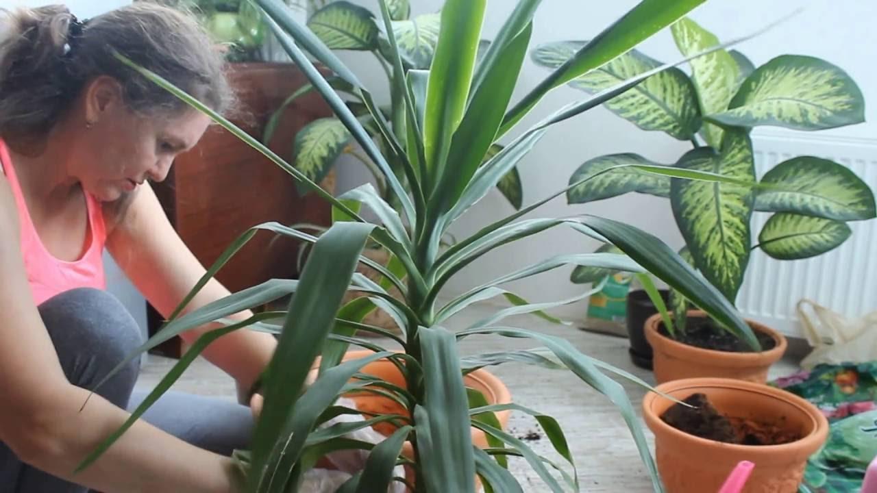 Выращивание юкки в домашних условиях 82