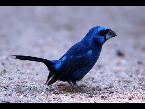 Pássaros Silvestres BR (Brazilian Birds) parte 4 Azulão, Coleirinho, Chopim...