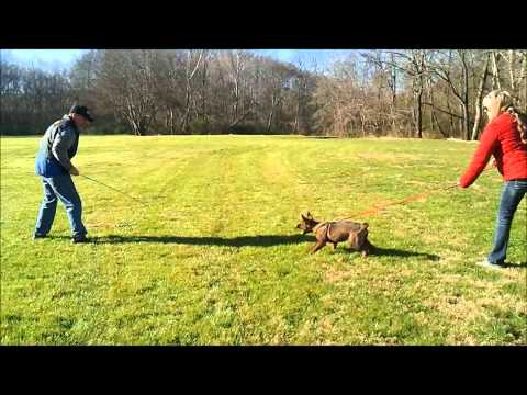 Schutzhund puppy training