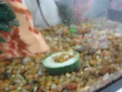 What to feed feeder fish at thedoglogs for Bottom feeder aquarium fish