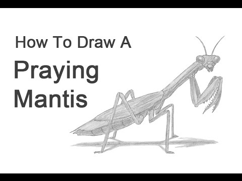 Praying Mantis Scientific Drawing How to Draw a Praying Mantis