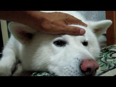 秋田犬ふざけ過ぎた飼い主を怒る 【akita dog】