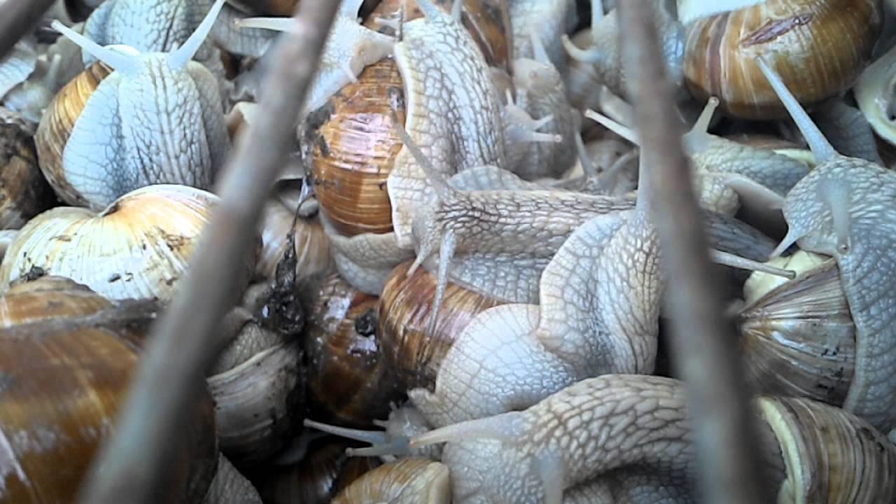 Reportage sur les escargots 15 minutes youtube - Cuisiner les escargots ...