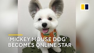 Adorable Japanese dog becomes an online star thanks to his 'Mickey Mouse ears'