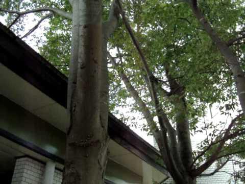 湯田温泉のセミ.MPG