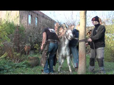 Farrier at work: 2 horses, shetland pony, donkey, big horse and a ...