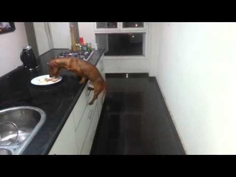 Perro salchicha ladron