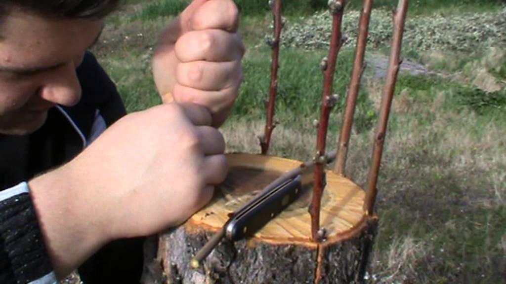 Innesto a corona mandorlo bucchianico youtube - Calendario trattamenti piante da frutto ...