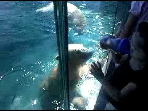 Polar Bears At The Zoo Attack Small Girl.3gp video