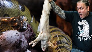 FED MY ANACONDA PIG FOR THANKGIVING!! | BRIAN BARCZYK