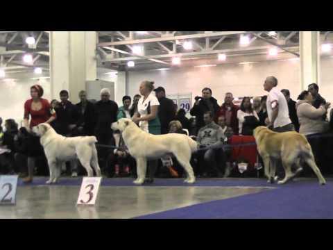 Выставка собак Евразия-2015, 1 день. Ринг среднеазиатских овчарок.
