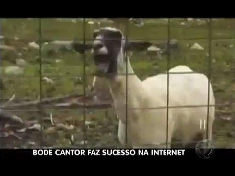 Bode canta Naldo, Britney Spears e Michel Teló e faz sucesso na internet