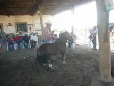 caballos bailadores obregon sonora