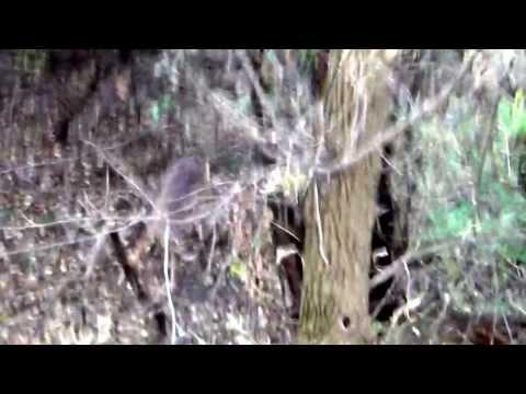 Buck kills rough cut 2013 RAGE Xtreme Chisel Tip