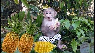 Baby Monkey   Doo Climbs Naughty And Eats Pineapple So Funny