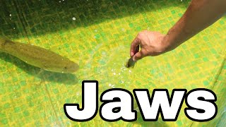 Fish TRAP Feeds BABY JAWS BATTLE IN AQUARIUM!!
