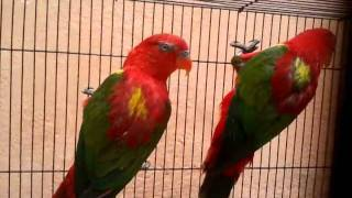 yellow backed chattering lory in (Preethi Farms)