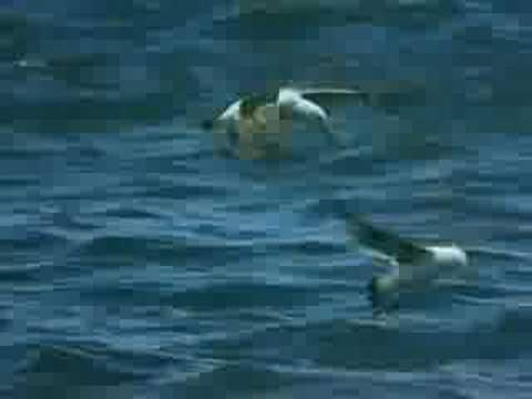 касатка против белой акулы видео ютуб