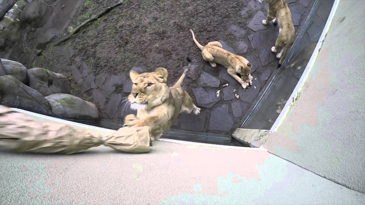 [Proof That Ferocious Lions Love Playing With Cute Cat Toys, Too] Video