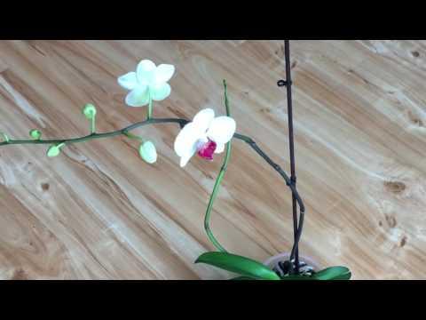 Почему орхидея сохнет?