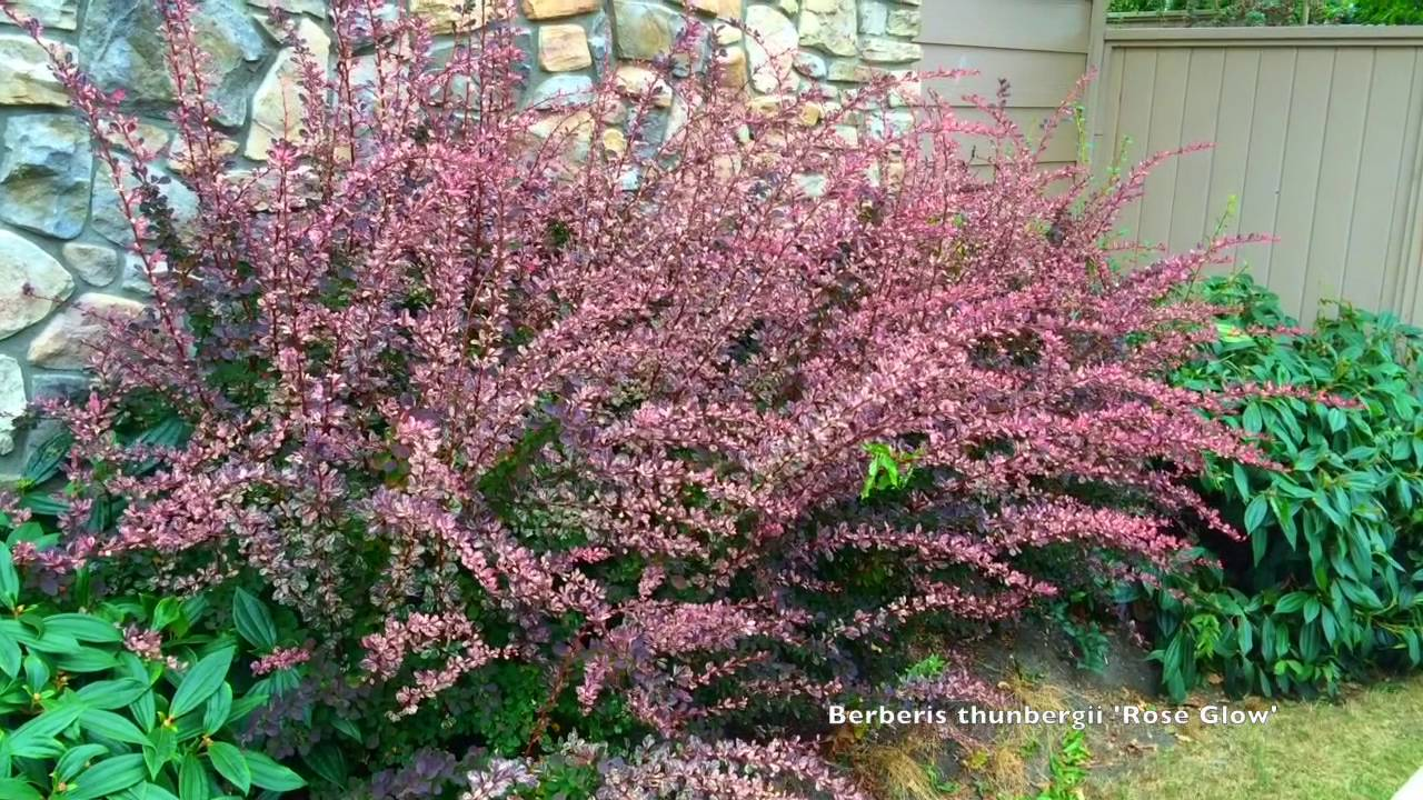 Watch Barberry video