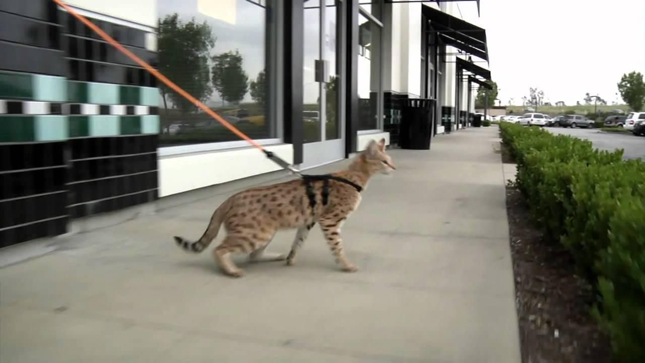 Savannah Cat F2 Full Grown