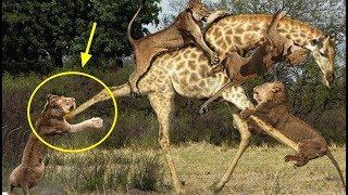 사자 vs 기린 화난 기린 사자를 죽이다 lion vs giraffe fight to death