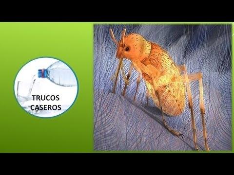 Pulgas - Como erradicar las pulgas ...