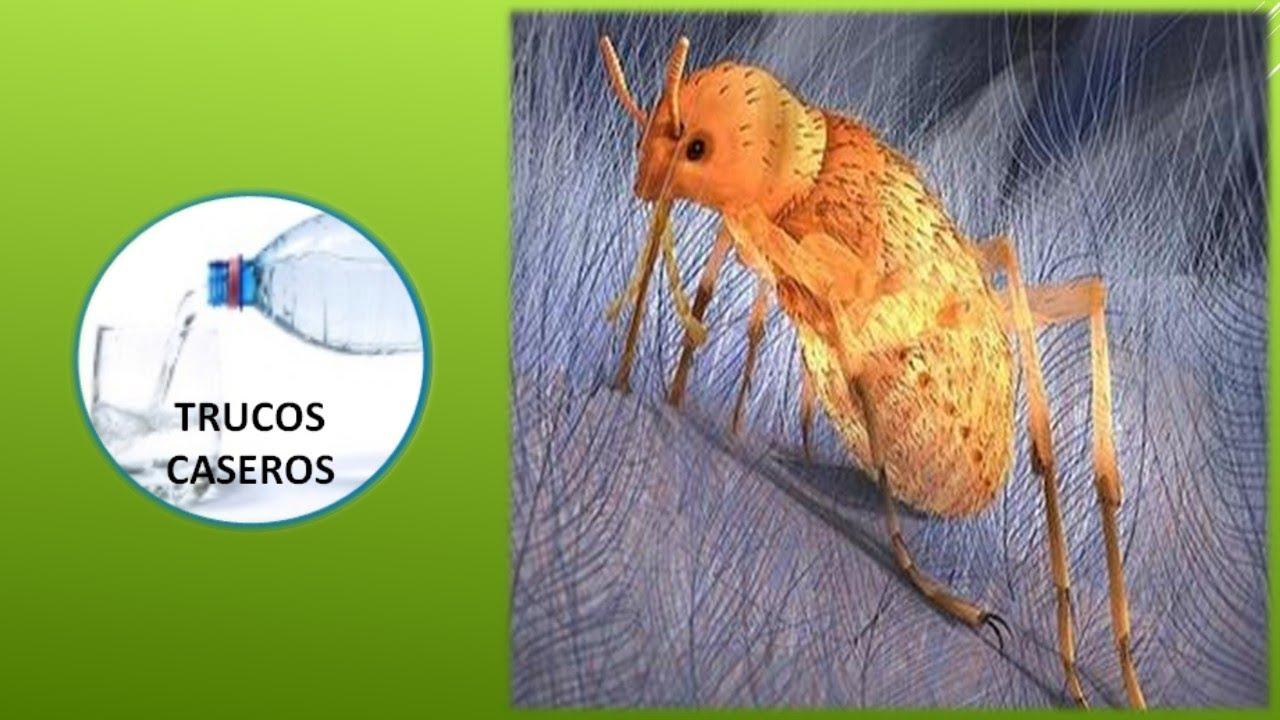 Como eliminar las pulgas en casa remedios caseros contra - Matar pulgas en casa ...