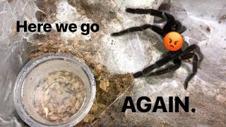 "WATERING my TARANTULAS ""(Part 4)"" !!!"