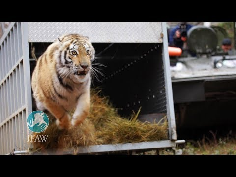 Zolushka - IFAW releases an Amur tiger back into the wilds of Russia
