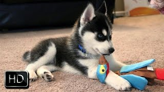 Angry Husky Puppy Barking at Toy and Biting It - FUNNY  VIDEO