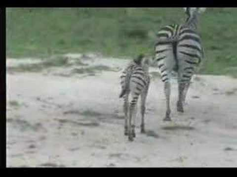Zebra and Cute Foal