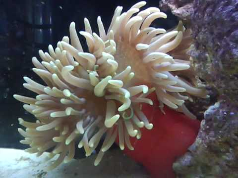 Green Long Tentacle Anemone YouTube