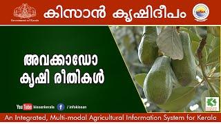 Avocado Fruit, Wayanad