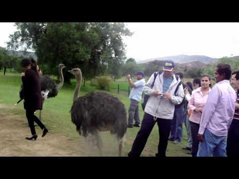 Granja de avestruces a las afueras de Villa De Leyva
